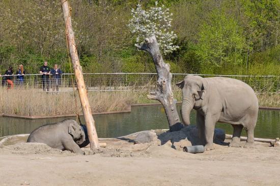 zoo-elefanter