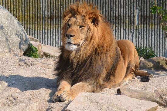 zoo-lejon